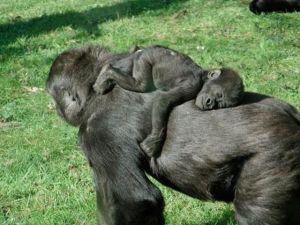 Mama & baby ape asleep