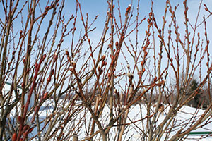 pussy willow in winter