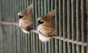 lions breathing through a cage