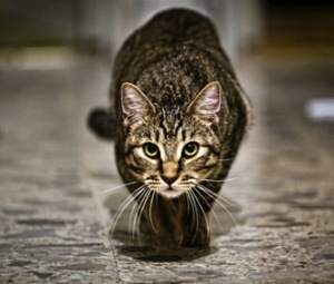 cat-ready-to-pounce-thinkstockphotos-511776453